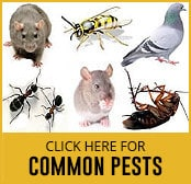 common pest