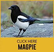 magpie-thumbnail