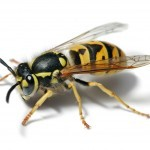 Helsby Wasp Nest Removal