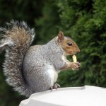 Grey squirrel pest