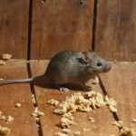 House mouse, Mus domesticus