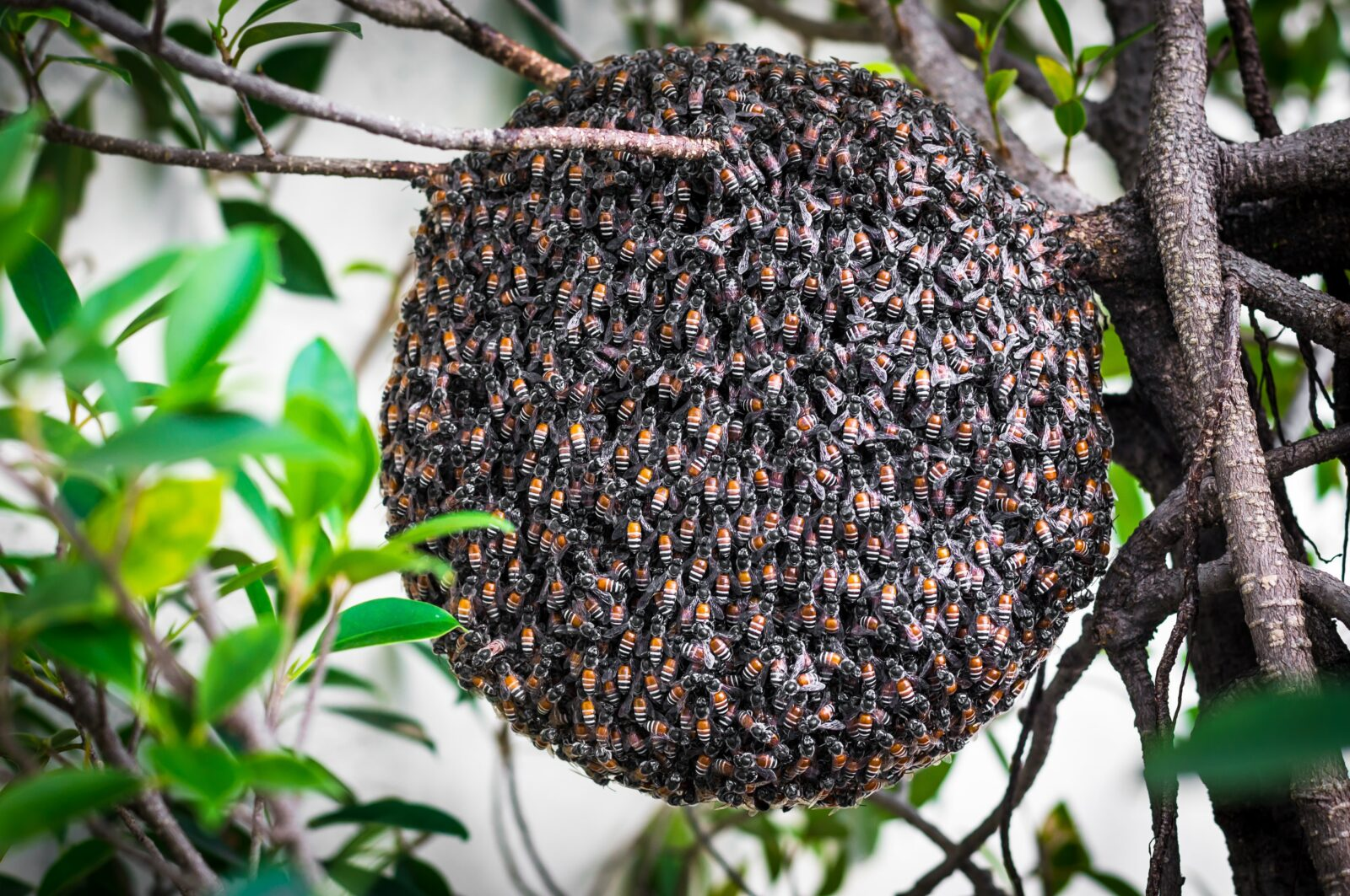 Bolton honey bee nest removal the biggest danger is in trying to carry out honey bee control yourself many think it will be easy to take care of as bees are generally content with just solutioingenieria Image collections
