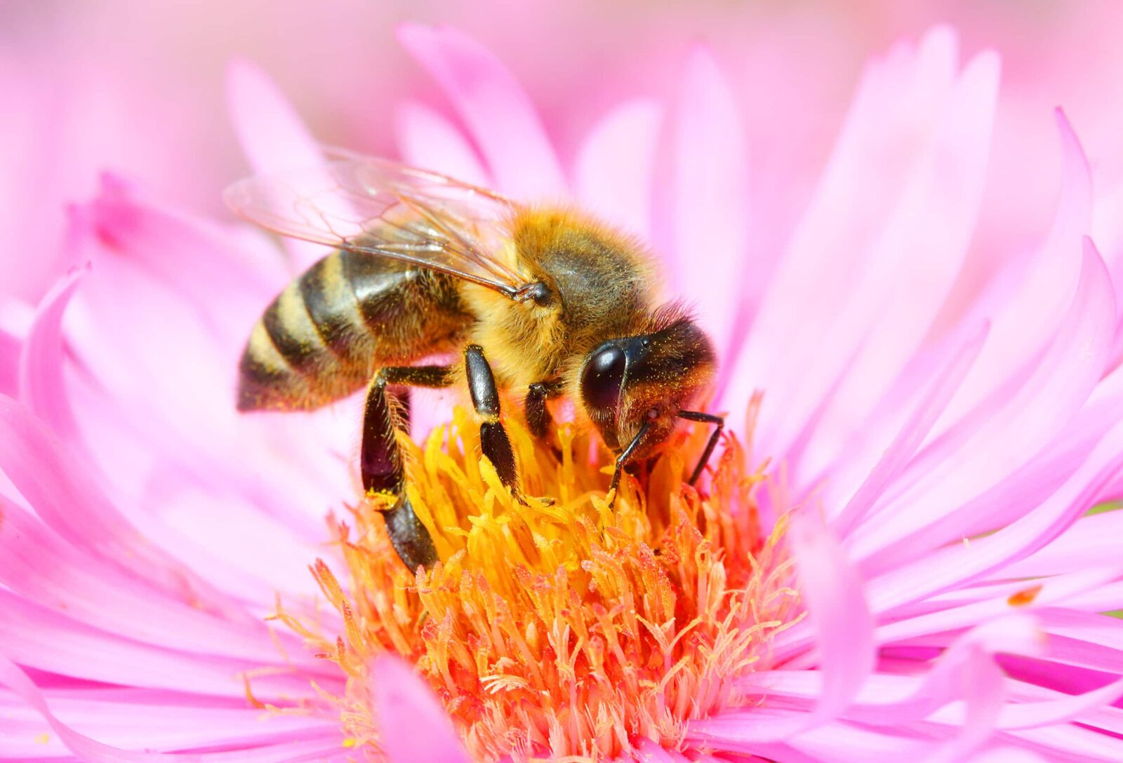 bee on the flower - photo #43