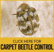carpet beetle control