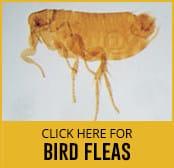 bird-flea-thumbnail