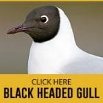 black-gull-thumbnail copy