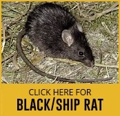 black-rat-thumbnail