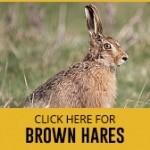 brown-hares-thumbnail