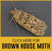 brown-house-moth-thumbnail