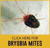 bryobia-mite-thumbnail