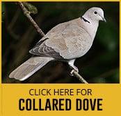 collared-dove-thumbnail