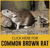 common-brown-rat-thumbnail