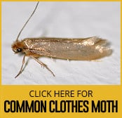 common-clothes-moth-thumbnail