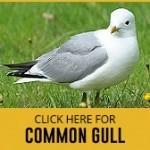 common-gull-thumbnail