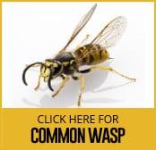 common-wasp-thumbnail