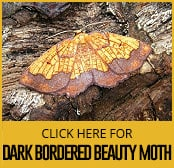 dark-bordered-beauty-moth