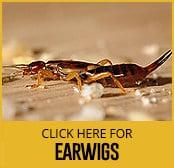 earwigs-thumbnail