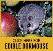 edible dormouse