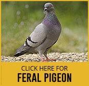 feral-pigeon-thumbnail