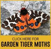 garden-tiger-moth-thumbnail