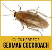 german-cockroach-thumbnail