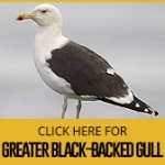 greater-black-backed-gull