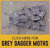grey-dagger-moth-thumbnail