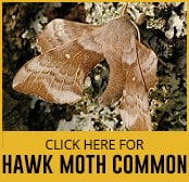 hawk-moth-common-thumbnail
