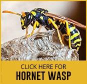 hornet-wasp-thumbnail