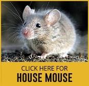 house-mouse-thumbnail