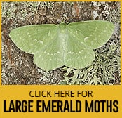 large-emerald-moth-thumbnail