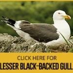 lesser-black-backed-gull
