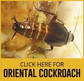oriental-cockroach-thumbnail