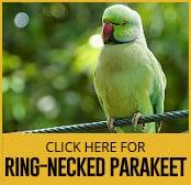 ring-necked-parakeet-thumbnail