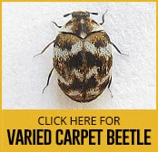 varied-carpet-beetle-thumbnail