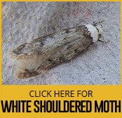 white-shouldered-house-moth