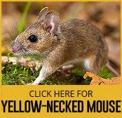 yellow-necked-mouse-thumbnail