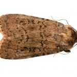 brown house moth