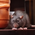 Wingates mice & rat control