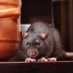 Firgrove mice & rat control