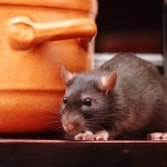 Walton mice & rat control
