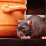 Trafford Park mice & rat control