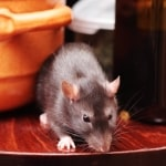 Moorside mice & rat control