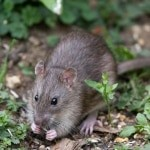 rat feeding on seeds and grain