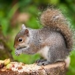 Henbury Grey Squirrel eating