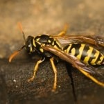 Grasscroft Wasp Nest Removal