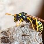Micklehurst Wasp Nest Removal