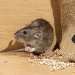 Brown Rat Rattus Norvegicus