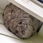 Fallowfield Wasp Nest Removal