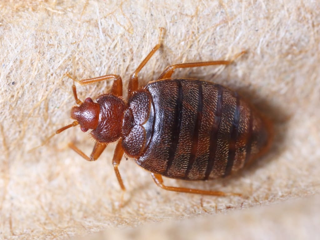 causes of bedbugs